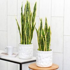 The artificial Sanseviera (also known as Snake plant or mother-in-law's tongue) is a real touch artificial potted plant mainly used in doors. This artificial plant and white ceramic vase can be placed anywhere in the home.