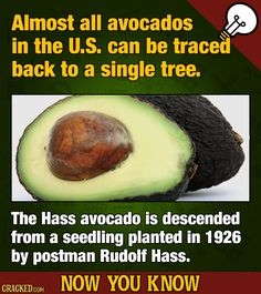 FOOD TRUTH: your avocado toast is almost impossibly inbred. #foodfact #foodtruth #avocado #avocadotoast