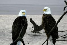Red Wing, MN. Bald eagles on the mighty Mississippi. Beautiful Birds, Animals Beautiful, Cute Animals, All Birds, Birds Of Prey, Animal Pictures, Cool Pictures, Minnesota Home, Wild Creatures