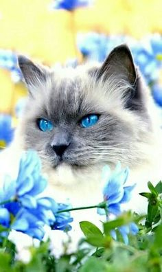 Beautiful Saimese Cat!