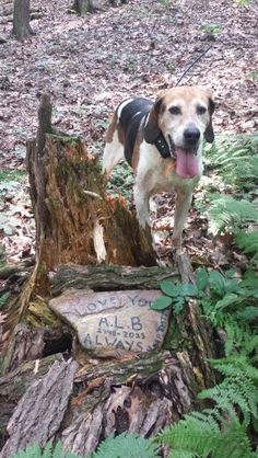 This is my buddies male dog Rex standing at his head stone in the mountains where his ashes are spread