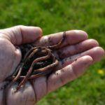 Kompostwürmer - ca. Starter Set, Shopping, Microorganisms, Lawn And Garden
