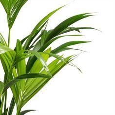 Howea forsteriana - Kentia Palm - 27 x Pony Tail Palm, Kentia Palm, Indoor Palms, Sago Palm, Tall Planters, Indoor Plant Pots, Liquid Fertilizer, Bathroom Plants, Air Purifier