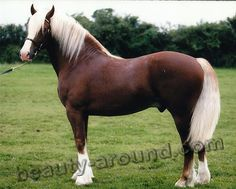 beautiful horse breeds | Most Beautiful Horse Breed Welsh pony most beautiful