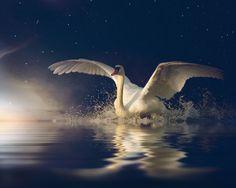 From country Georgia. Swan Lake, Winter Photography, Black Art, Professional Photographer, Laos, Animals Beautiful, Pet Birds, Beautiful Places, Ballerinas