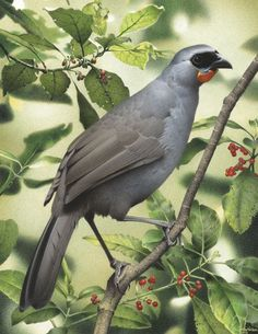 South Island Kokako - Image from the series Extinct birds of New Zealand by Paul Martinson Extinct Birds, Extinct Animals, Rare Animals, Birds Online, Kiwiana, Bird Pictures, Horse Pictures, Bird Illustration, South Island