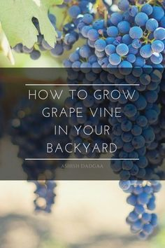 This article informing about How to Grow Grape Vine in your Backyard with easy and simple steps. Learn how to produce gapes and you will enjoy picking a fresh grape bursting with flavor everytime.