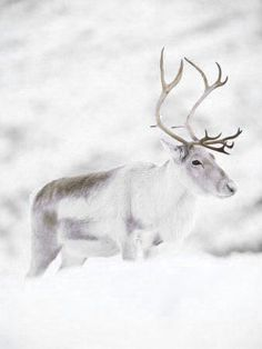 ≡ winter deer