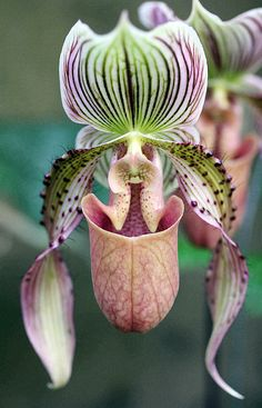 Beautiful Orchid by Mary Haber Beautiful Orchid by Mary Haber Orchid Photograph - Beautiful Orchid by Mary Haber<br> None Strange Flowers, Unusual Flowers, Rare Flowers, Amazing Flowers, Orchid Flower Arrangements, Orchid Centerpieces, Orchid Bouquet, Orchid Cake, Vanda Orchids