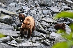 A mother grizzly and her 4 cubs in Valdez, Alaska - photos taken on our fishing trip there. #Alaska #Nature MrsMamaHen.com