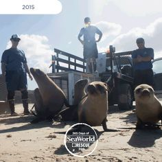 These sea lion pups were some of the first to be returned to the wild after successful rehabilitation at SeaWorld during the #2015SeaLionCrisis. #365DaysOfRescue