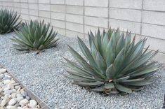 Front Yard Garden Design 13 Desert Plants to Use When Landscaping - Whether you fancy turning your backyard into a desert-chic oasis, or you're just looking for desert landscaping options. Here are 13 plants to meet your needs. Succulent Landscaping, Mulch Landscaping, Landscaping With Rocks, Modern Landscaping, Front Yard Landscaping, Succulents Garden, Landscaping Ideas, Desert Landscaping Backyard, Farmhouse Landscaping