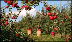 If you're mulling over planting fruit trees on your homestead, you may want to grow apple trees. Apples are a valuable fruit crop. Planting Fruit Trees, Fruit Plants, Prune Fruit, Edible Plants, Straw Bale Gardening, Gardening Tips, Growing Apple Trees, Apple Benefits, Potager Bio