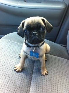 The cutest little pug in the world!