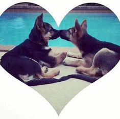 German Shepherd love