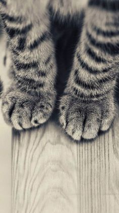 Animals iPhone 6 Plus Wallpapers - Striped Kitten Legs Wooden Floor iPhone 6 Plus HD Wallpaper