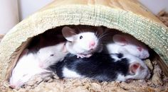 Mice looking for shade.