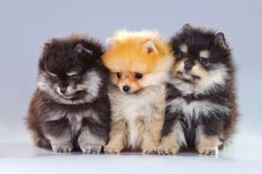 Pomeranians or Poms:  A great source for information on history, temperament, grooming and health issues related to this tiny breed.