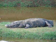 Zoo Animals, Animals And Pets, Saltwater Crocodile, Native American Pottery, Reptiles And Amphibians, Creature Design, Crocs, Alligators, Lizards