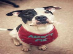 CHAPARITO - ID#A229907 I am a neutered male, white and black Pit Bull Terrier. The shelter staff think I am about 2 years and 3 months ol