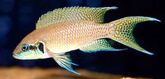 """Fairy Cichlid"" | Lake Tanganyika Tropical Freshwater Fish, Tropical Fish Aquarium, Home Aquarium, Freshwater Aquarium Fish, Beautiful Fish, Beautiful Horses, Victoria Lake, Cichlid Fish, Lake Tanganyika"