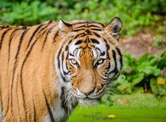 Free Jigsaw Puzzles Online - TIGER  #Game #JigsawPuzzle #Puzzle