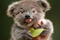 Archer the koala chewing gum leaves and marsupial milk to claw his way back to health Cute Funny Animals, Cute Baby Animals, Animals And Pets, Bear Pictures, Animal Pictures, Adorable Pictures, Beautiful Pictures, Photo Ours, The Wombats