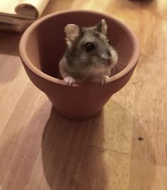 Kiwi hates hands picking her up but she doesnt mind flower pots! #aww #Cutehamsters #hamster #hamstersofpinterest #boopthesnoot #cuddle #fluffy #animals #aww #socute #derp #cute #bestfriend #itssofluffy #rodents