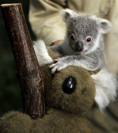 A seven month old female baby koala