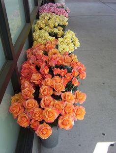 Portland Rose Garden. Portland, OR
