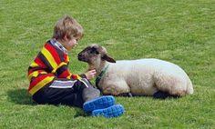 lambs-as-pets