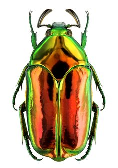 Agestrata semperi Beetle Insect, Beetle Bug, Insect Art, Cool Insects, Bugs And Insects, Foto Macro, Insect Photos, Cool Bugs, Bug Art