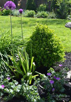 Best Plants for every garden-Dwarf Boxwood