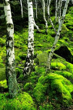 Birch trees surrounded by moss. The white against the light, bright green is beautiful.