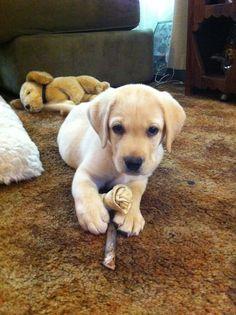 english yellow labrador puppy
