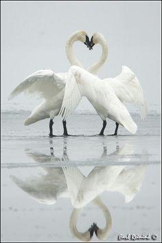 Cisnes en el baile de cortejo....