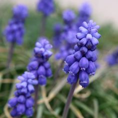 Grape Hyacinth Flowers Close Up - Free High Resolution Photo