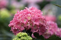 Hydrangea 'Spike® Pink'