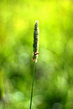Dandelion, My Photos, Fruit, Flowers, Plants, Dandelions, The Fruit, Flora, Plant