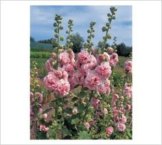 Hollyhock 'Appleblossom' | Lambley Nursery