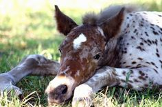Kind of difficult to tell, but this precious little Appy Foal may be all Brown Leopard Appaloosa. Meaning, all spots over its body like a Leopard. Pretty little thing.