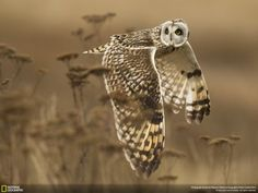 National Geographic 2014 Photo Contest: Shoulder Creek - (A wild short-eared owl completes a shoulder check in case something was missed, Boundary Bay,British Columbia, Canada) - photo by Henrik Nilsson Photographie National Geographic, National Geographic Fotos, National Geographic Photo Contest, National Geographic Photography, Wildlife Photography, Animal Photography, Photography Office, Photography Hacks, Bokeh Photography