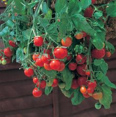 This cascading, branching tomato provides an interesting display in pots and hanging baskets. The vigorous plants continue to add additional vines that can grow to 2' so it will just pour out of any c