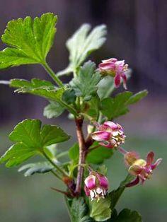 Karviainen, Ribes uva-crispa - Puut ja pensaat - LuontoPortti