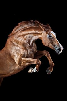 High jumper: Gorgeous chestnut horse caught in mid-leap. (Wiebke Haas) High jumper: Gorgeous chestnut horse caught in mid-leap. Most Beautiful Horses, All The Pretty Horses, Animals Beautiful, Beautiful Words, Horse Photos, Horse Pictures, Equine Photography, Animal Photography, Wild Photography