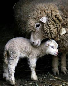 mum & lamb