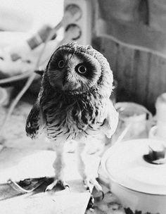 owl •