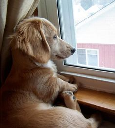 I want this puppy!!! #dachshund