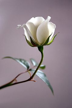 "coffeenuts: ""streamsofcontext:White rose by Futurilla on Flickr. """