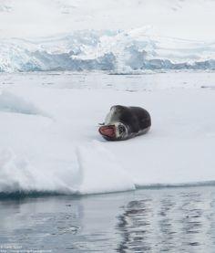 Bonjour cher léopard de mer! Que tes dents sont belles! http://voyagesetvagabondages.com/category/antarctique/